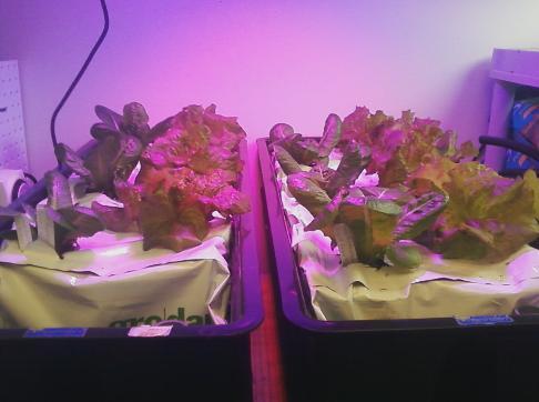 lettuce-486x362