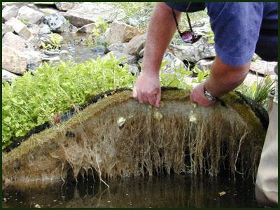 Algae in a hydroponic garden
