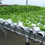 Maximuck's Farm-hydroponic greens (8)
